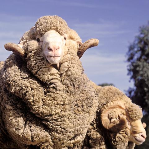 merino-sheep